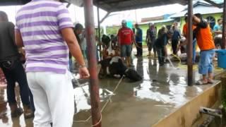 kuim dokumentari pusat penyembelihan lembu part 4