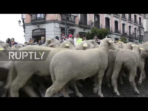 Spain: Un-BAAA-lievable! Thousands of sheep pack-out Madrid'