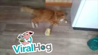 Baby Chick and Kitty at Play || ViralHog