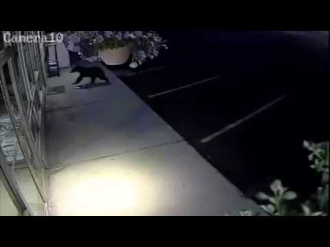 Bear Attempts to Break into a Hardware Store in Grand Coulee, Washington