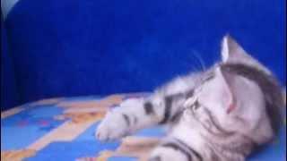 Питомник шотландских вислоухих кошек Файна Киця