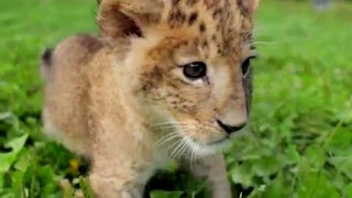 Cute Baby Tigers and Lions That Love to Play