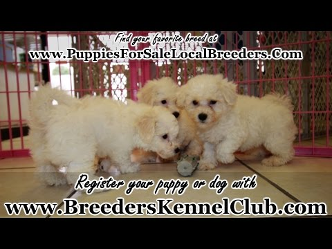 BICHON FRISE PUPPIES FOR SALE GEORGIA LOCAL BREEDERS
