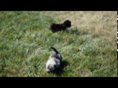 PuppyFinder.com : Shih Tzu Mix Breed Puppy For Sale Fredericksburg Ohio