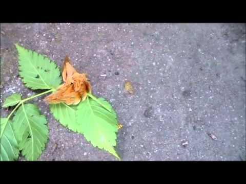 Ordem Lepidoptera   Nicole Paese
