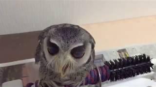 第3の瞼【瞬膜】をスロー動画で撮影!キモ可愛いフクロウをご覧くださ...