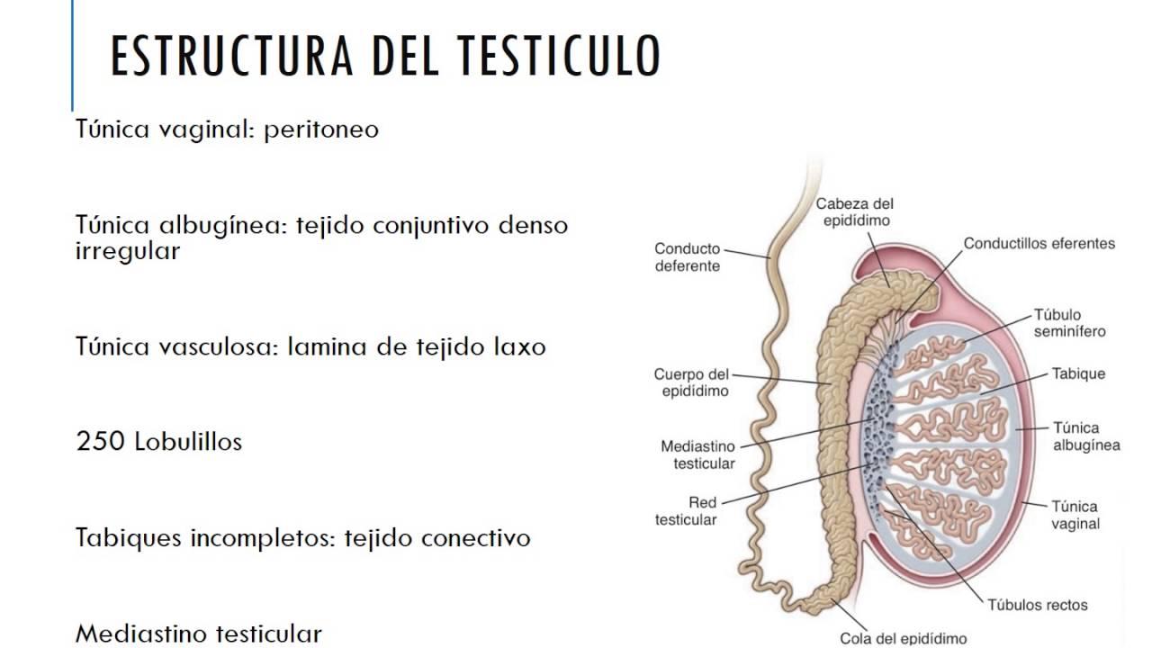test histologia aparato reproductor femenino