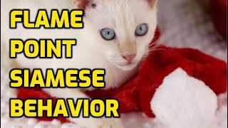 Flame Point Siamese Personality And Characteristics