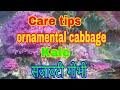 205_How to Care ornamental cabbage/Kale/ flowering cabbageसजालटी गोभी( Hindi/ Urdu)