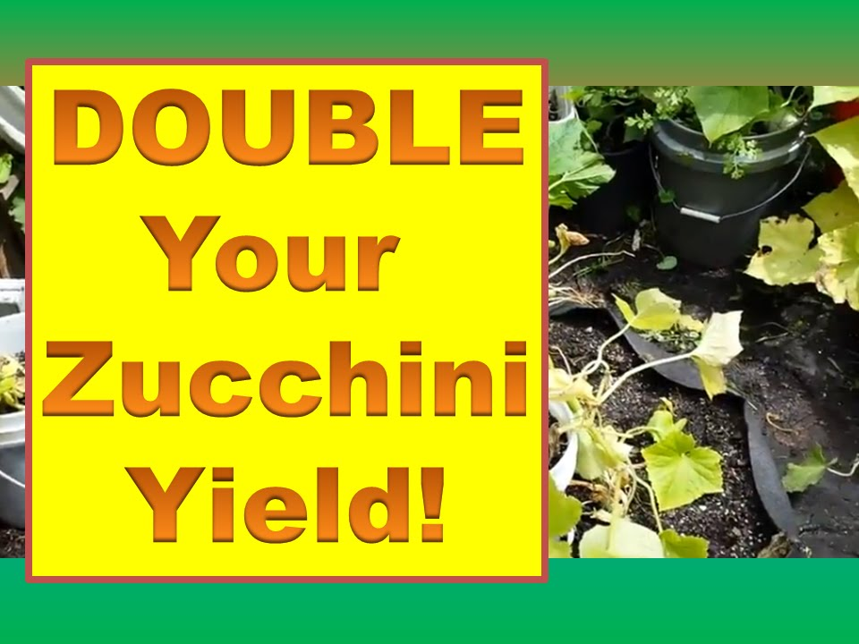 How To Get A Second Crop Of Zucchini Late Season Double Your Courgette Yield You