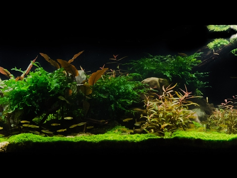 """Takashi Amano Tribute Aquascape by James Findley - Pebbles """"In the Footsteps of a Giant"""""""