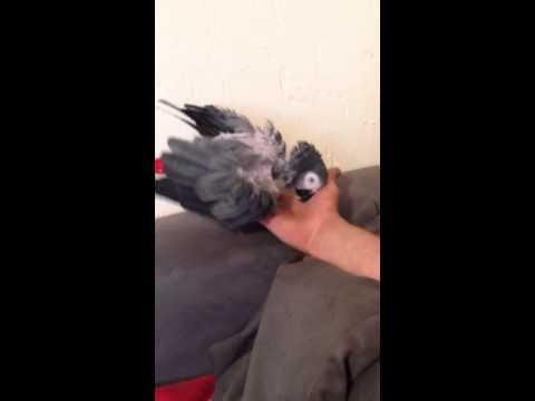 African grey parrot , Weird behavior !!
