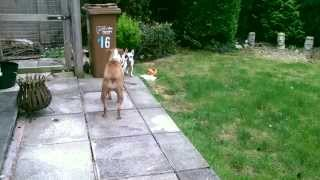 French Bulldog Coco's First Zoomies
