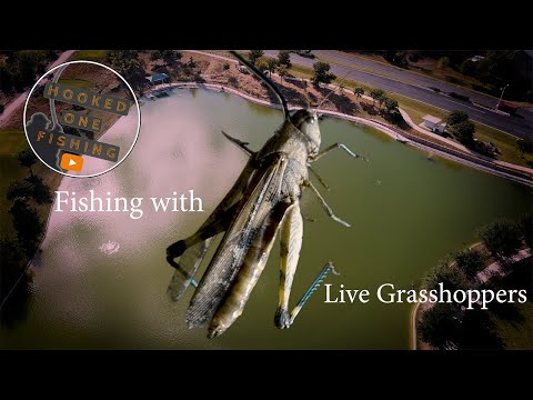 How To Fish With Live Grasshoppers