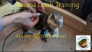 Iguana Leash Training