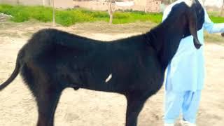 Video Attaullah Goat Farm - Download mp3, mp4 Attaullah Goat