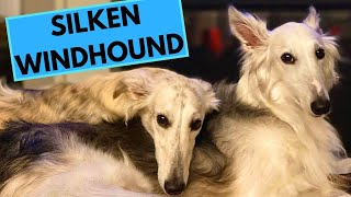 Silken Windhound Dog Breed  Facts and Information