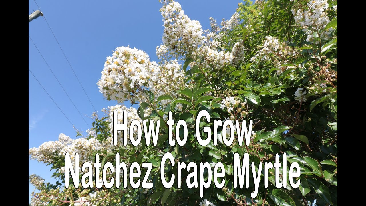 How To Grow Natchez Crape Myrtle White Flowering Crape Myrtle With