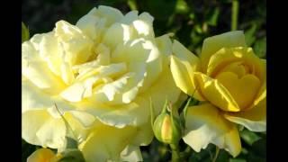 18 YELLOW ROSES (reggae) ~ BORIS GARDENER ~