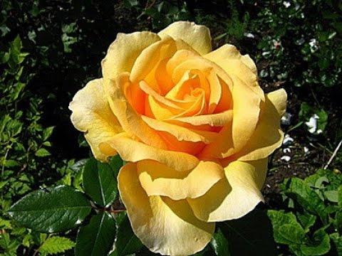 Желтая Плетистая РОЗА 2018 / Yellow Scrotal ROSE / Yellow Kletterrose