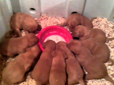 British red lab puppies for sale  Males $650 00 Females $700 00  First  feeding of gruel