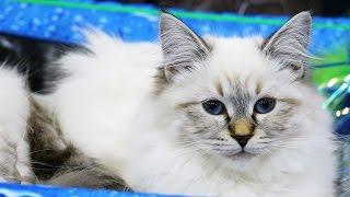 Лучшие породистые коты и кошки России. Выставка кошек #7: Победители ДШ-ПДШ шоу