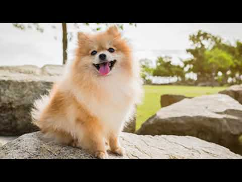 pomeranian---small-dog-breed