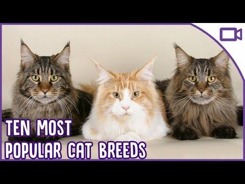 TOP 10 Best Cat Breeds - The Ten Most Popular!