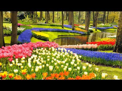 Keukenhof Gardens and Tulip Fields Tour from Amsterdam