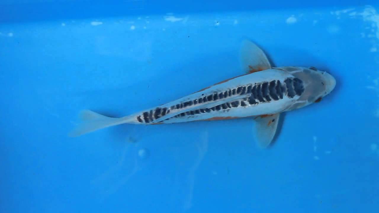 14 shusui koi carp fish for sale love aquatics youtube for Carpe koi shusui