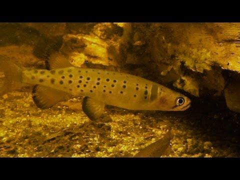 Freshwater Fish: Fotheringate Creek, Flinders Island, Tasmania
