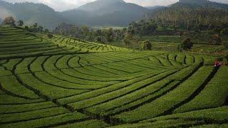 Crop Circle Di Bandung, Di Ciwedey