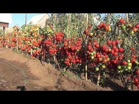Обзор томатов для открытого грунта часть 1
