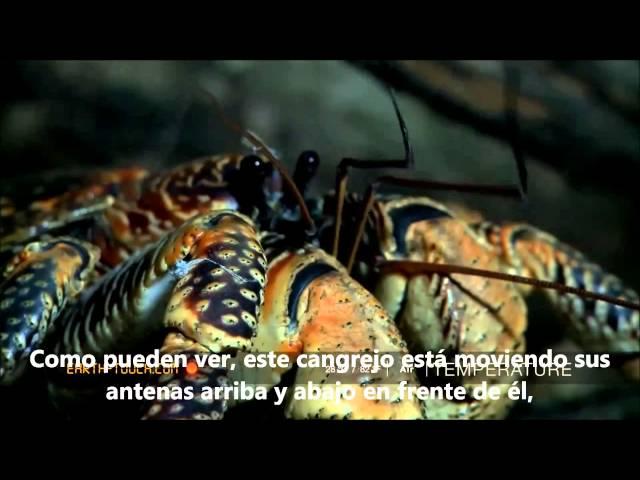 El Cangrejo Cocotero (Birgus Latro)