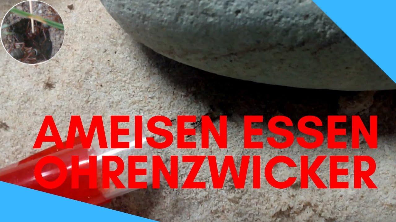 Was Essen Ameisen : ohrenzwicker essen f r ameisen youtube ~ Watch28wear.com Haus und Dekorationen