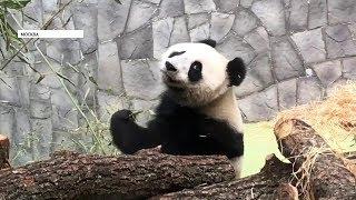 Две большие панды появились в Московском зоопарке