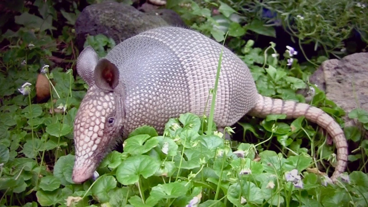 cool facts about armadillos