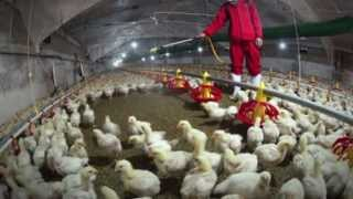 New Most LETHAL BIRD FLU Virus KILLS 27 HUMANS, 100s Infected - CHINA ! ..5.4.13