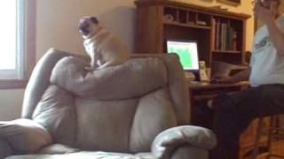Pug Scared Of Fart!!!