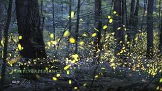 Tennessee Fireflies: Realtime Stock Footage