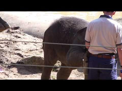 Baby elephant Mali - Melbourne Zoo