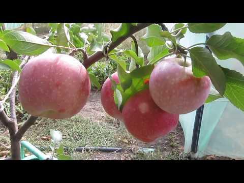 """Яблоня """"Флорина"""" в первый год плодоношения. Сбор урожая. Уход.ч.1"""
