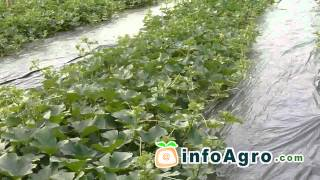Melon Growing. How to plant, grow and harvest - 2/2