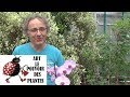 watch he video of Chaine tv de Jardinage:Comment faire refleurir une orchidée Phalaenopsis et Comment l' entretenir