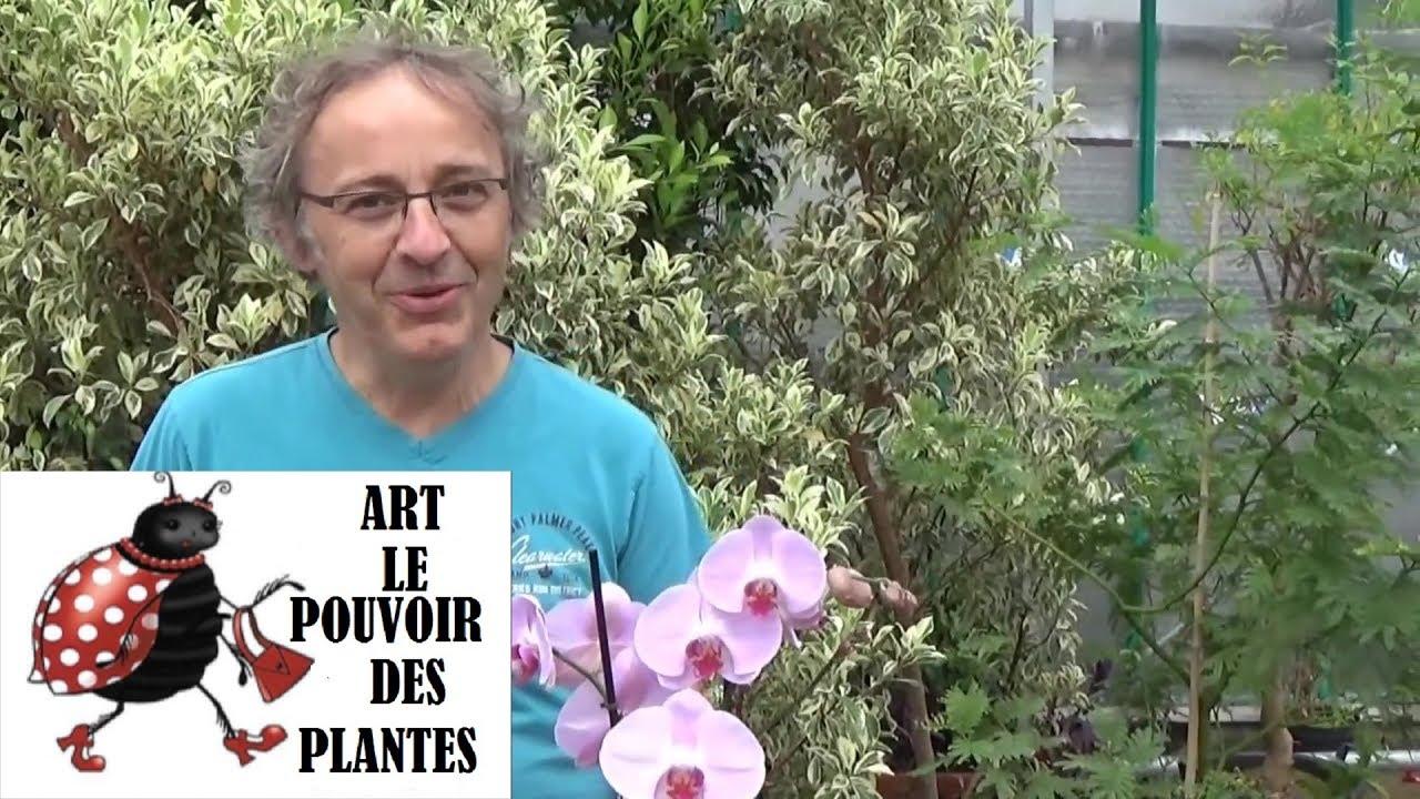 Download Chaine tv de Jardinage:Comment entretenir une orchidée et faire refleurir une orchidée Phalaenopsis: