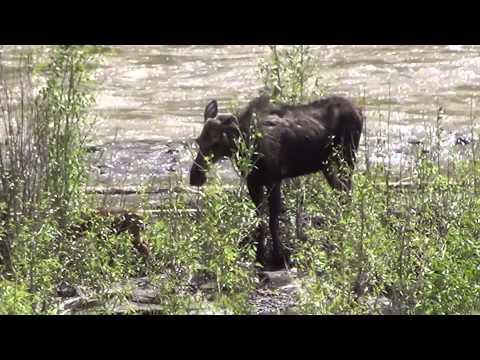 Polowanie na łosia/ Hunting for elk (Yellowstone)