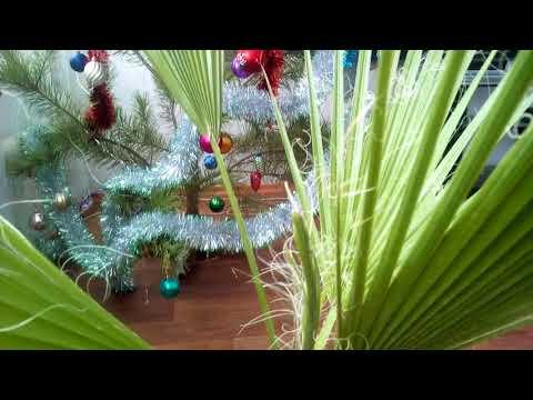 Пальма - Вашингтония нитчатая в домашних условиях. Удачный Сад  !