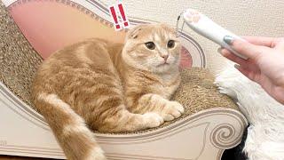 猫用レーザーポインターで暴走する短足猫がこちら