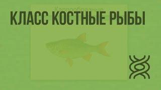 Класс Костные рыбы. Видеоурок по биологии 7 класс
