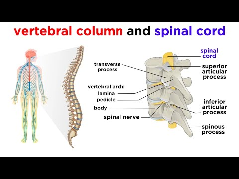 The white matter of spinal cord is mainly quizlet